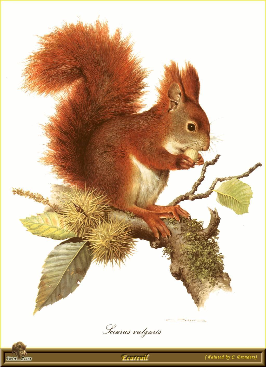 Animaux ecureuils gifs photos - Coloriage d ecureuil ...
